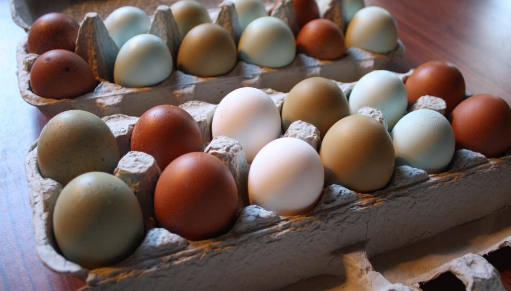 Ameraucana Eggs to Hatch