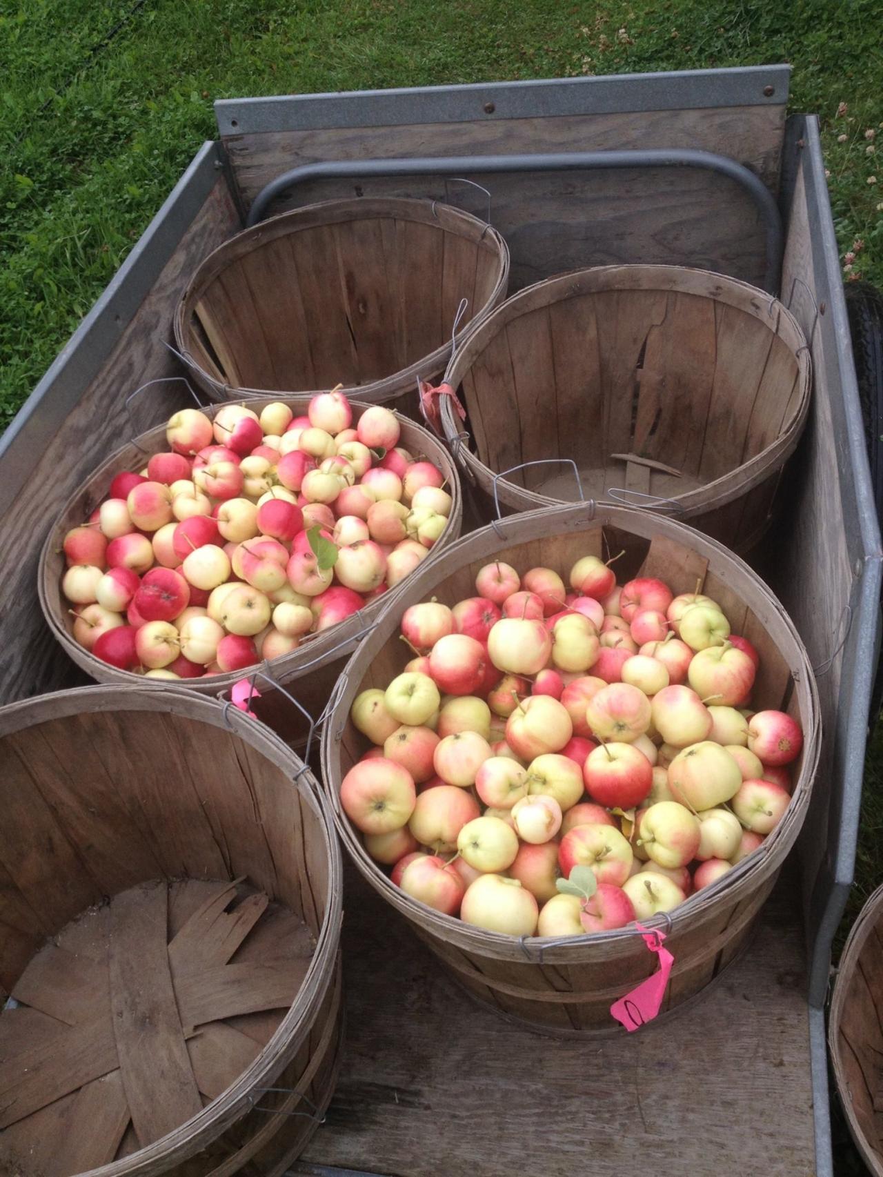 Alaska Apples